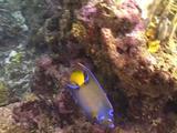 Queen Angelfish Over Reef