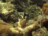 Brown Sea Horse Free Swimming