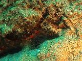 Transparent Pederson Shrimp Feeds In Anemone