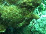 Giant Anglerfish Red