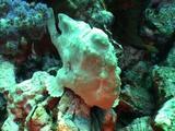 Giant Anglerfish White
