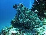 Patato Grouper