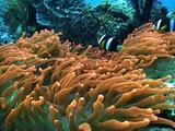 Indian Anemonefish