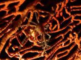Crab In Seafan
