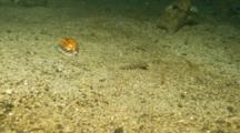 Time Lapse Of Cowrie Moving Across Frame