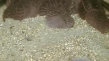 Time Lapse Of Common Sand Dollars Jockeying For Position In Gathering, Medium