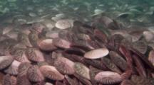 Time Lapse Of Common Sand Dollars Jockeying For Position In Gathering, Wide