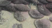 Time Lapse Of Common Sand Dollars Jockeying For Position In Gathering, Close Up, W Track