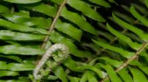 Time Lapse Of Western Sword Fern Growing, New Branch Unfolding