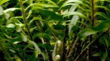 Time Lapse Of Western Sword Fern Growing, New Branch Unfolding, Wide
