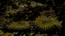 Time Lapse Of Two Giant Green Anemone In Tide Trying To Feed