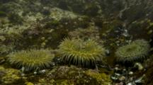 Time Lapse Of Three Giant Green Anemone In Tide Trying To Feed