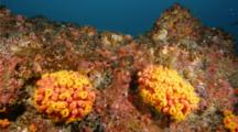 Orange Cup Coral Emerging To Filter Feed At Dusk