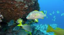 Yellowtail Snapper On Cleaning Statiopn With Barberfish