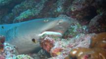 Whitetip Reef Shark Resting On Bottom, Breathing, Cleaner Goby Around
