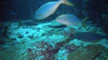 Rainbow chub or bluestriped sea chun using a rubbing rock for cleaning station