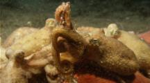 Group Of Red Octopus Cooperative Feeding On Large Crab