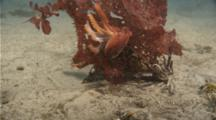 Red Octopus Tumbling Over Sand Holding Onto Piece Of Kelp