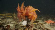 2 Rainbow Nudibranch Laying Eggs On A Tube Anemone