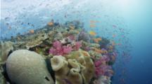 Coral Reef With Hard And Soft Corals And Anthias Riding Current