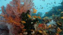 Coral Reef With Soft Coral, Sea Fan And Anthias Riding In The Current