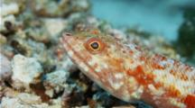 Lizardfish Sitting On Rocky Bottom Opening And Closing Mouth