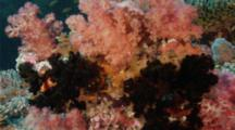 Red Coral Grouper Hiding Behind Soft Coral