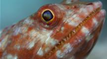 Lizardfish Sitting On Rocky Bottom