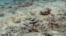 2 Yellownose Shrimpgoby Guarding Hole