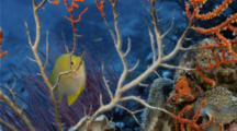 Golden Damsel Grooming And Protecting Eggs On A Sea Fan