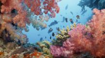 Soft Corals On Coral Reef With Fish In Background