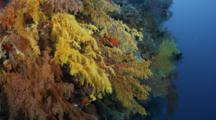 Vertical Coral Reef Wall With Colorful Soft Corals