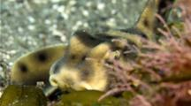 Horn shark California