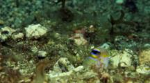 Bluebar or yellowhead jawfish in hole
