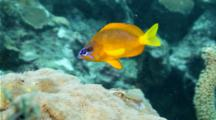 Golden hamlet swimming around on reef, close up