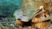 Heart urchin running from helmet snail, burrowing into sand, being eaten by helmet snail, helmet snail hunting and catching heart urchin