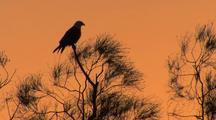 Brahminy Kite In Tree Creates Sunset Silhouette, Flies Away