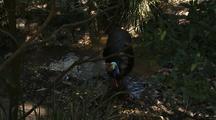 Cassowary Wading