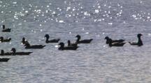 Wood Ducks Rest On Waterhole