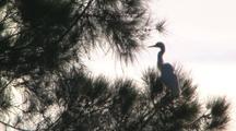 Pair Intermediate Egrets Perched In Tree