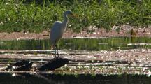Intermediate Egret Perched On Log In Weed Waterway