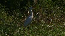 Pair Intermediate Egret Hunts Amongst Wetland Reeds