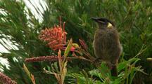 Lewins Honeyeater +Grevillea Flower, Calls + Flies