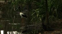 Pair Jabiru At Waterhole