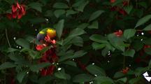 Rainbow Lorikeet Feeds On Red Flowers