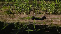 Dusky Moorhen Grazes On Wetland Weed