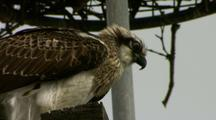 Osprey Juvenile Sits On Man-Made Nesting Pole & Calls