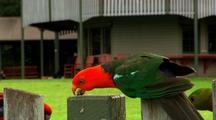 Australian King Parrots Sit & Feed On Mountain Resort Fence + Crimson Rosella