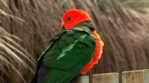 Australian King Parrot Sits On Mountain Resort Fence