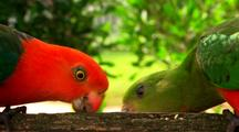 Pair Australian King Parrots Sit & Feed On Fence At Mountain Resort